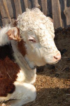Герифорды - именно эту породу выращивают как мраморную говядину