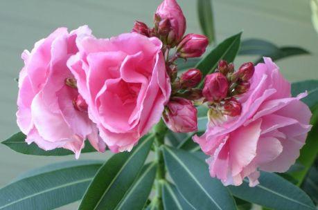 Цветок олеандр с древних времен считается очень опасным, так как ядовит. Но это не повод перестать восхищаться его чудесными цветами