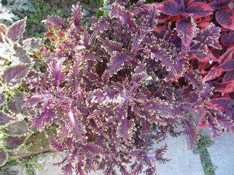 Кайма листьев по красоте и разнообразию не уступает окраске