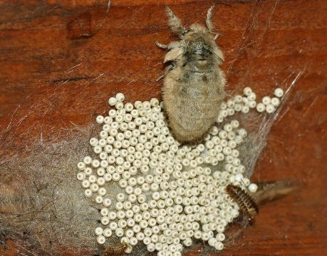 Кистехвост обыкновенный, самка с кладкой яиц