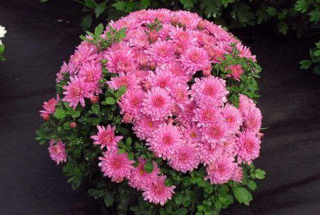 Корейские хризантемы