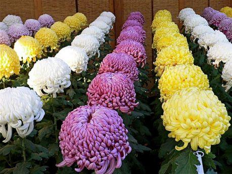Срезочные хризантемы