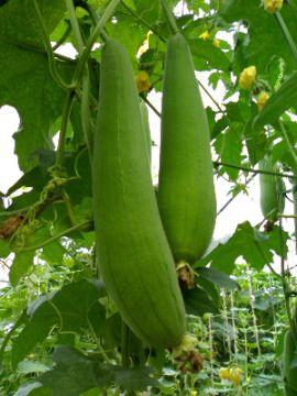 Люффа - это не только еда и мочалки. В прошлом веке спелые цилиндрические плоды использовали для изготовления технических деталей: воздушных и топливных фильтров. Сейчас для этих целей используют синтетические материалы
