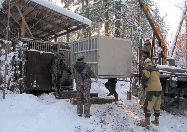 Переезд тигра. Фото предоставлено Центром реабилитации диких животных «Утес».