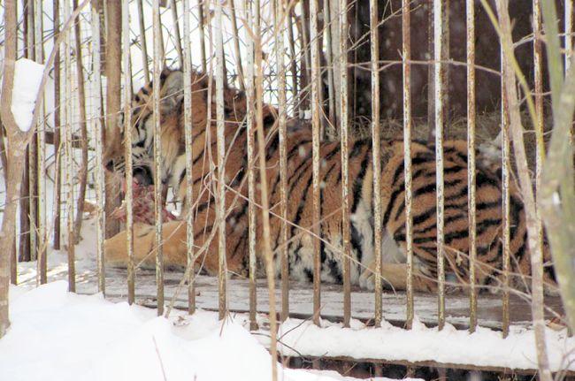 Тигр Упорный. Фото предоставлено Центром реабилитации диких животных «Утес».