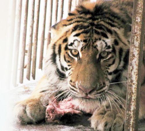Голодного Упорного сразу накормили. Фото предоставлено Центром реабилитации диких животных «Утес».