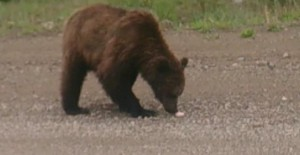 мАгадан Кормим медведя колбаской