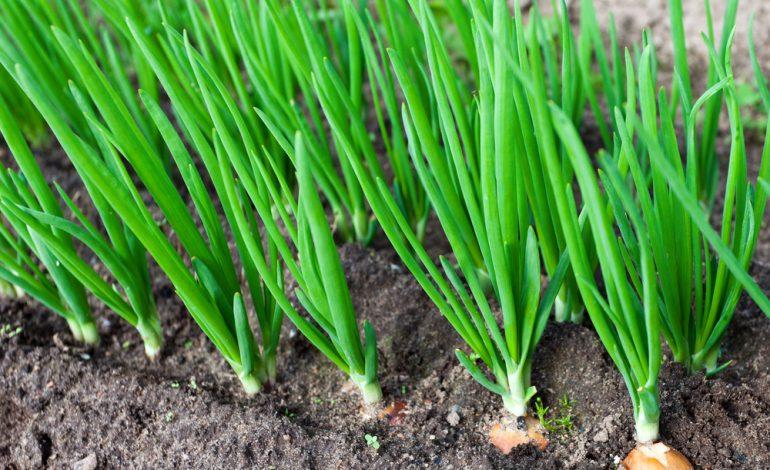 Выращивание репчатого лука 2