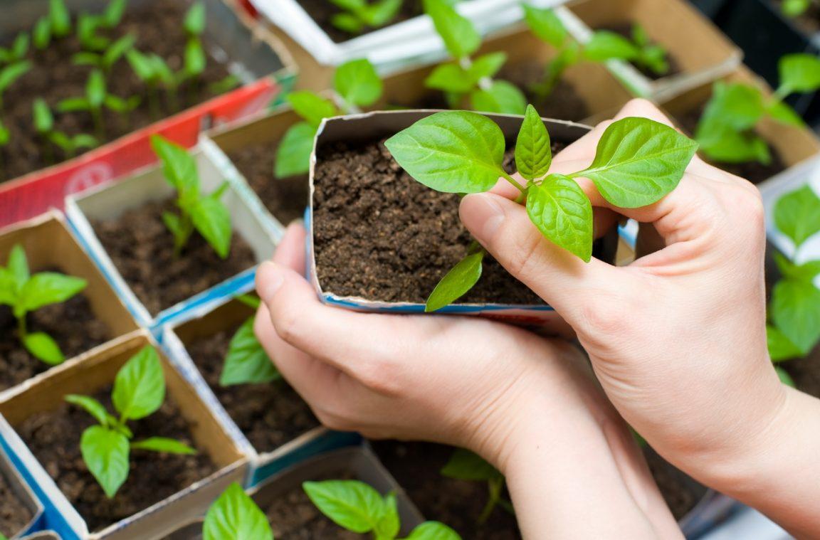 Когда сажать рассаду помидор, перца и других овощных культур можно узнать из этой статьи