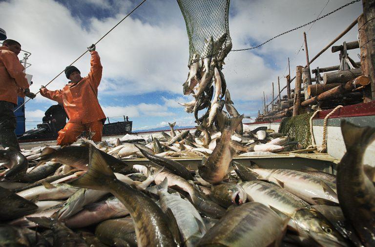На одной заездке работает около 20 человек, которых туда завозят в начале путины в июле, а вывозят в сентябре. Бригада за один сезон добывает до 1 500 тонн лосося и зарабатывают около 400 т.р. на каждого.  Когда рыба идёт хорошо, добыча ведётся круглосуточно, ночью при свете ламп. Заездка оборудована электростанцией, построены бараки с топчанами, кухня –столовая с поваром, есть запас продуктов, воды – бригада полностью автономна.  Вокруг заездки постоянно кормятся семьи китов белух и нерпы – подбирают раненую рыбу или достают её из сетей.