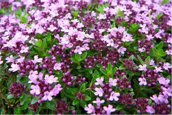 Травянистый низкорослый кустарник с маленькими букетиками сиреневых цветков кроме лечебных целей применяется как украшение в ландшафтном дизайне.