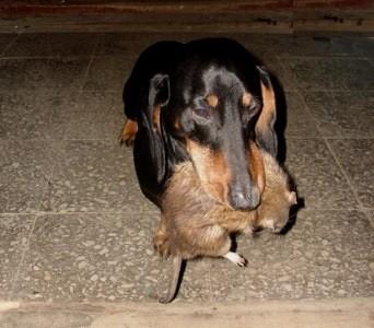 Такса - отличный крысылов.