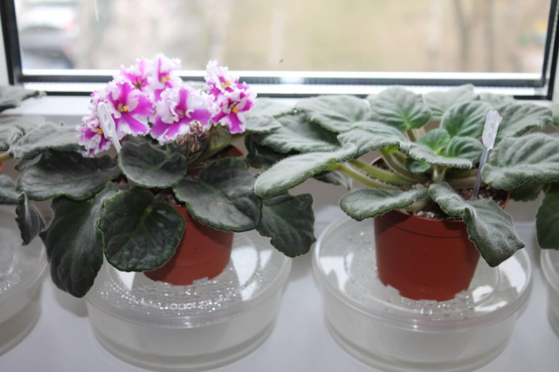Как подобрать горшки для фиалок, чтобы посадить цветы правильно?