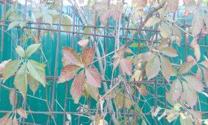 Эта декоративная лиана не обладает ни вкусными плодами, ни какими-то роскошными цветами. Главное ее достоинство - это возможность задекорировать неприглядные места на участке, создать тень, озеленить забор или изгородь или просто закрыть от дождя веранду или мансарду.