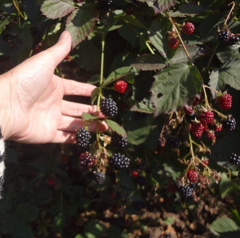 ягоды дачный участок