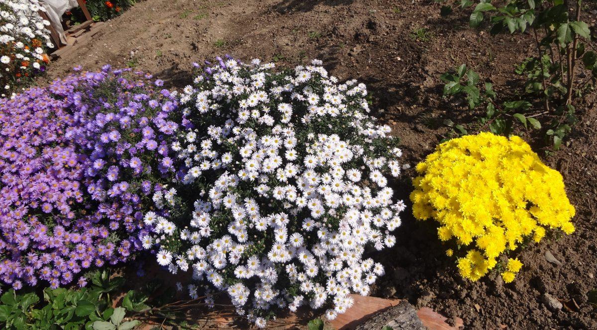 клумба цветы дача