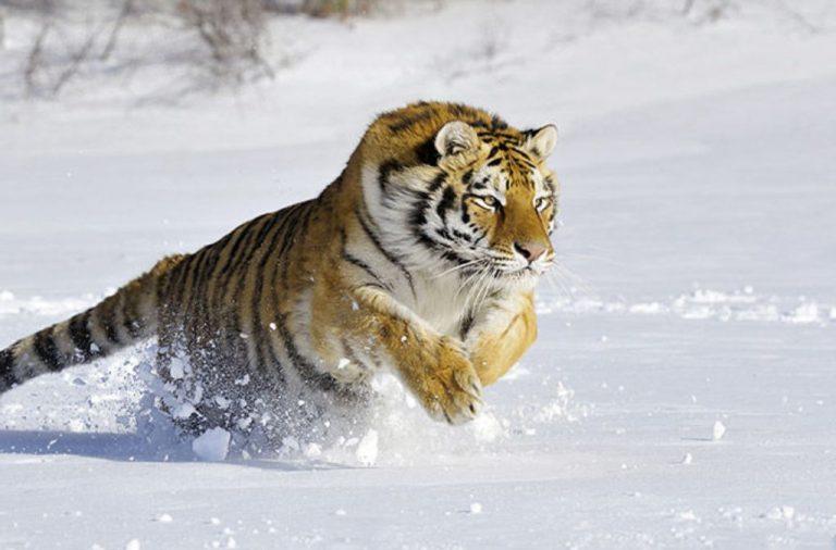 amurskiy_tigr4
