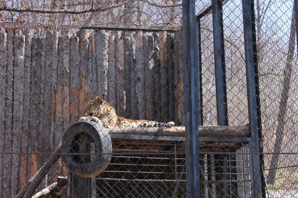 Леопард Стивен, который живет в хабаровском зоосаде 6 лет ждет подружку