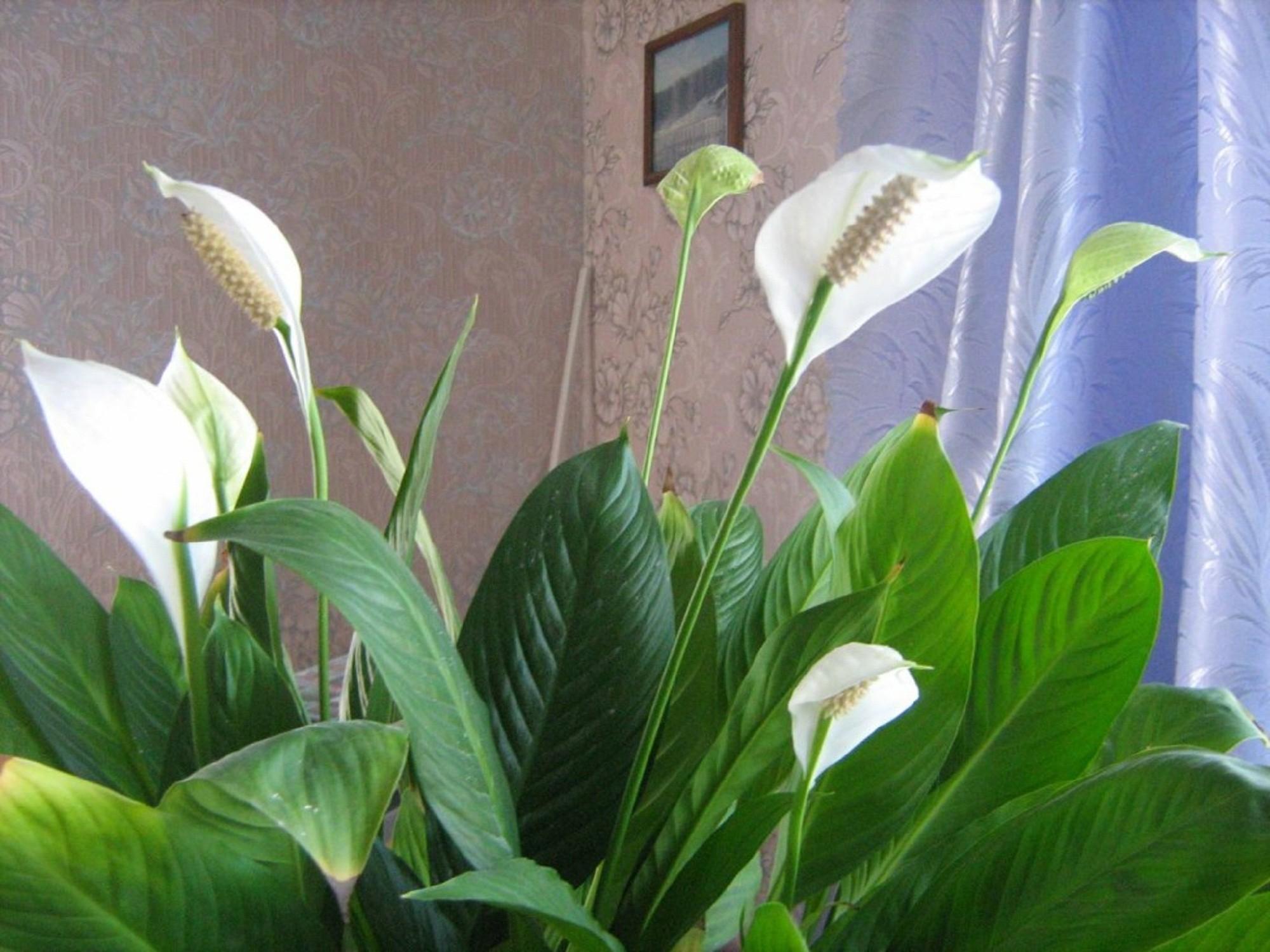 Цветок женского счастья фото комнатный уход