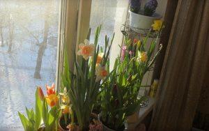 За окном снег и мороз, а на подоконнике цветут весенние цветы. Это ли не чудо?!