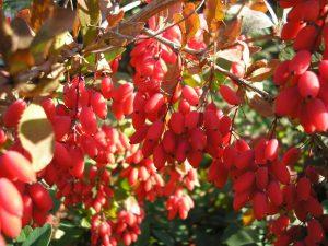 Барбарис обыкновенный, из ягод которого и делают различные вкусности