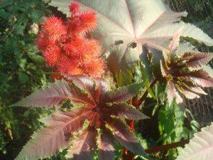 В продаже можно встретить семена клещевины с зелёными и красными листьями и плодами