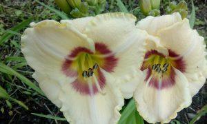 Символ короля: лилейники и лилии
