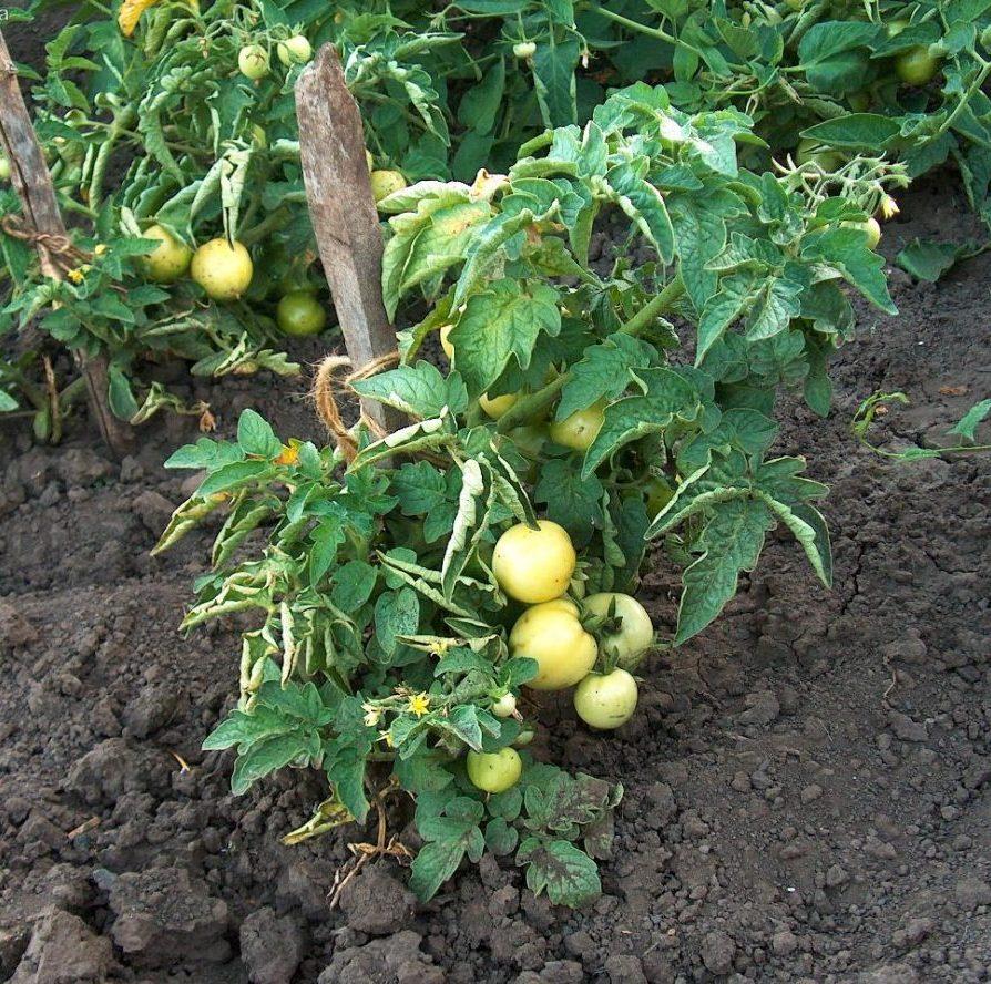 Озимые помидоры выращивает хабаровский дачник