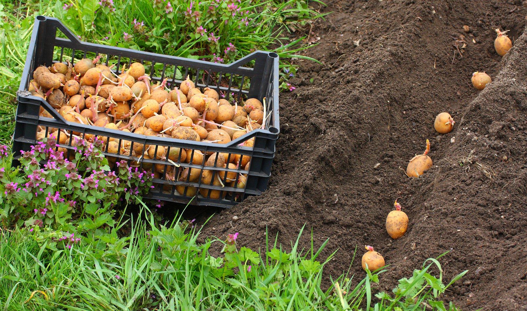 Картофель сажать под зиму 41