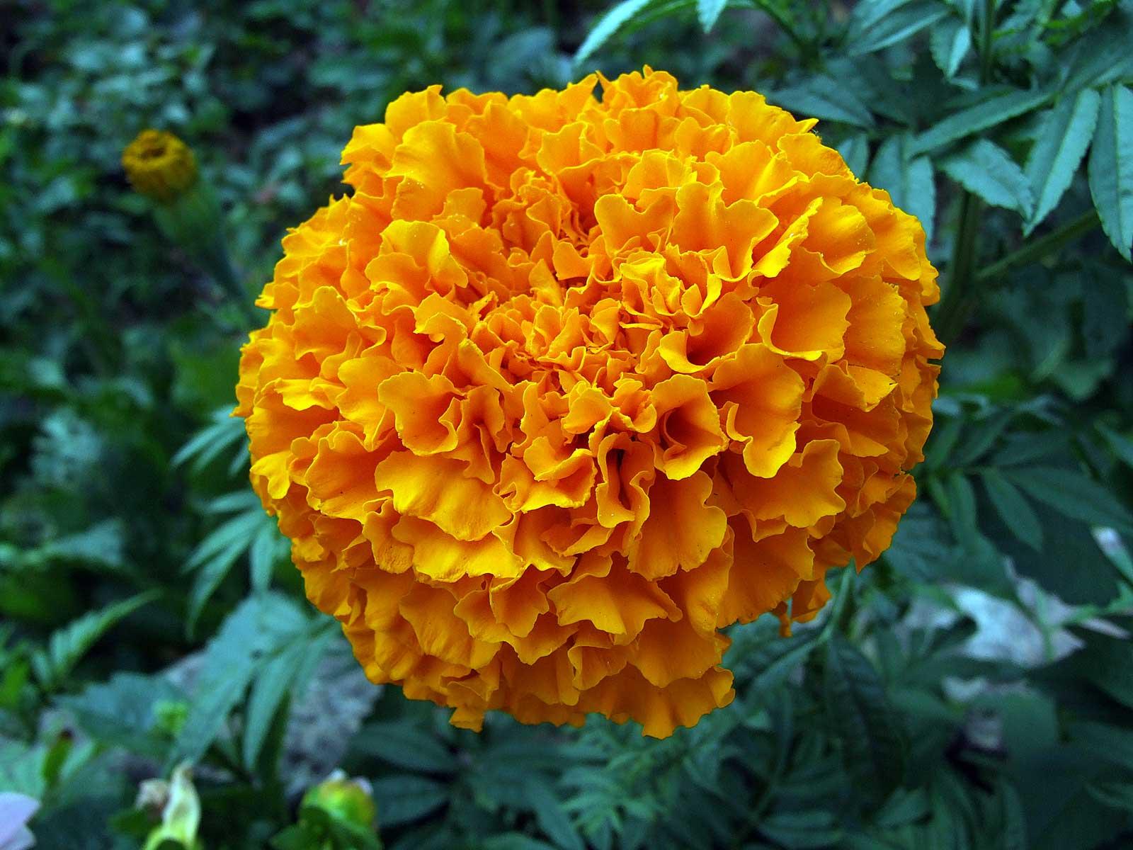 цветы для дачи фото с названиями