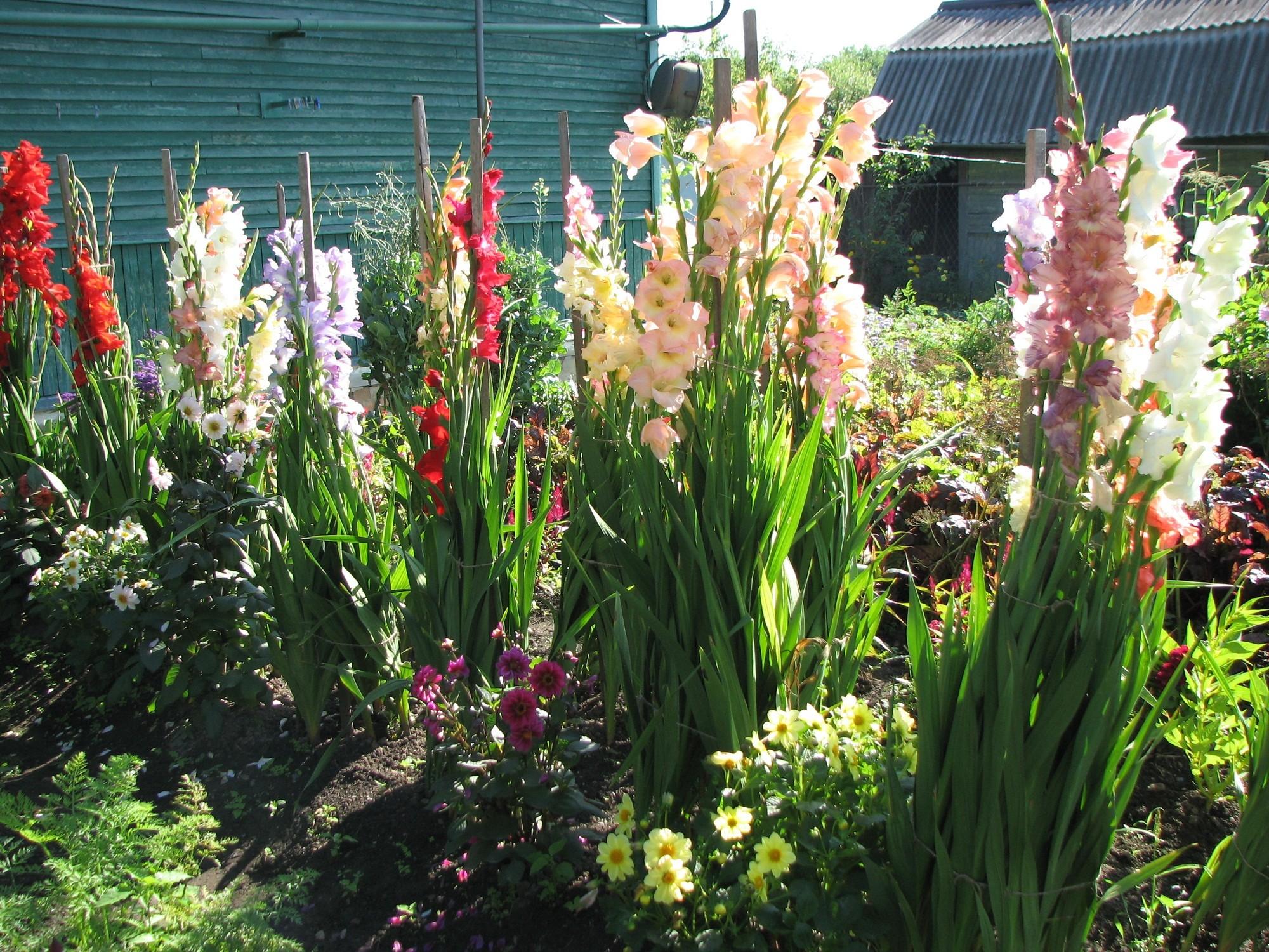 Как получить семена гладиолуса и можно ли вырастить цветы из семян 48