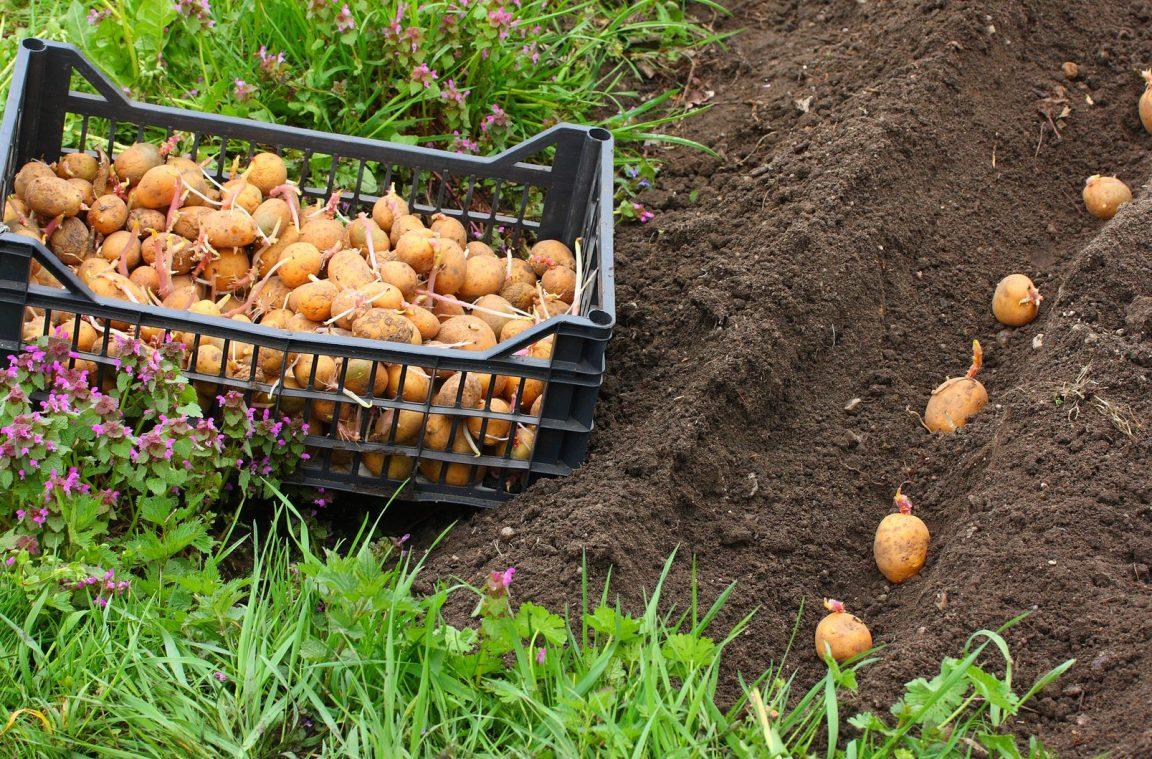 С хабаровских полей продолжает исчезать картофель