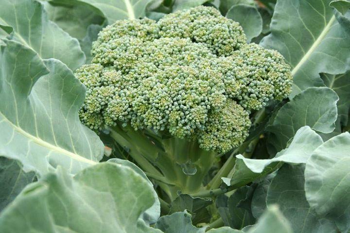Выращиваем брокколи сами