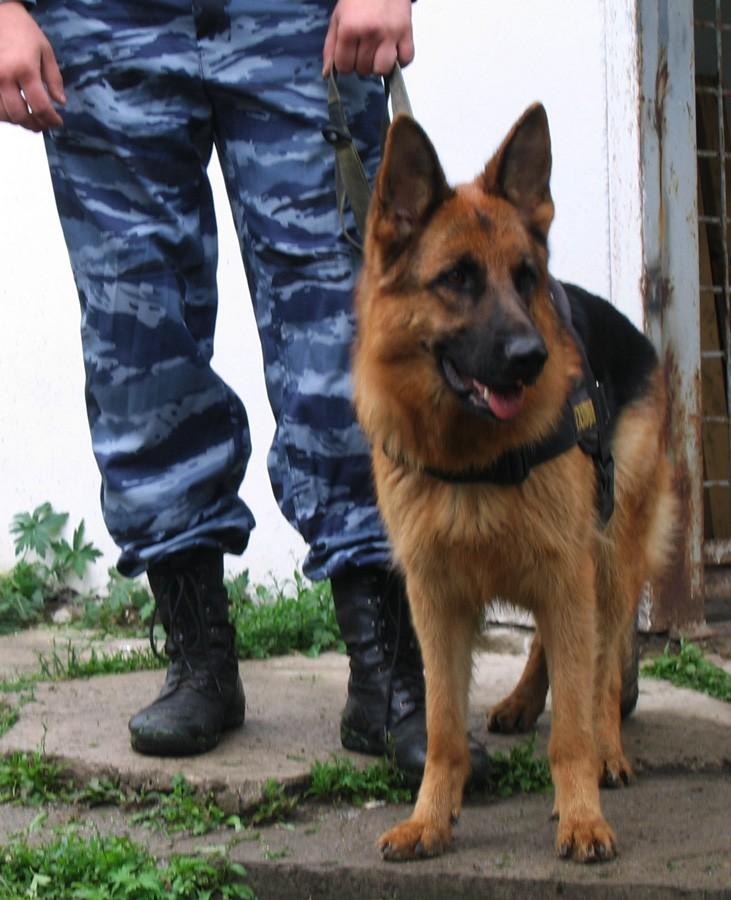 140 преступлений раскрыли служебные собаки в этом году. Кто и как их этому учит