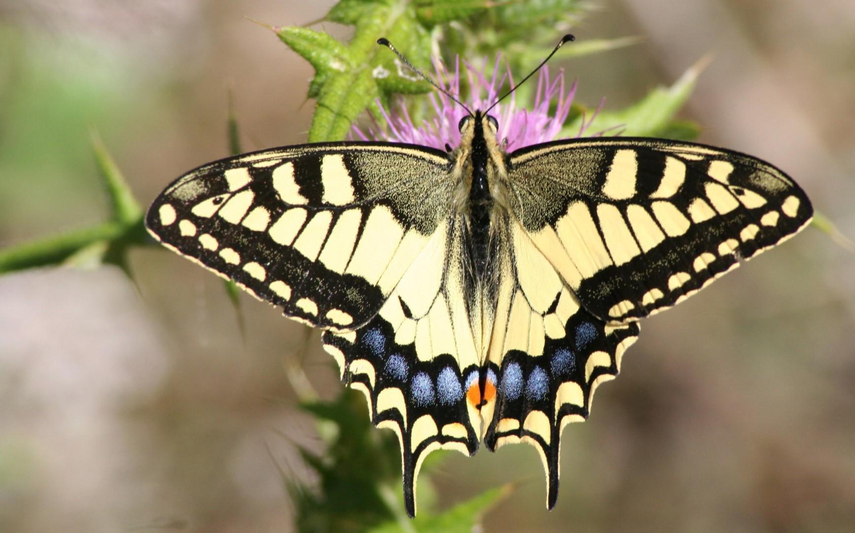 Махаон – красивая бабочка или злостный вредитель?
