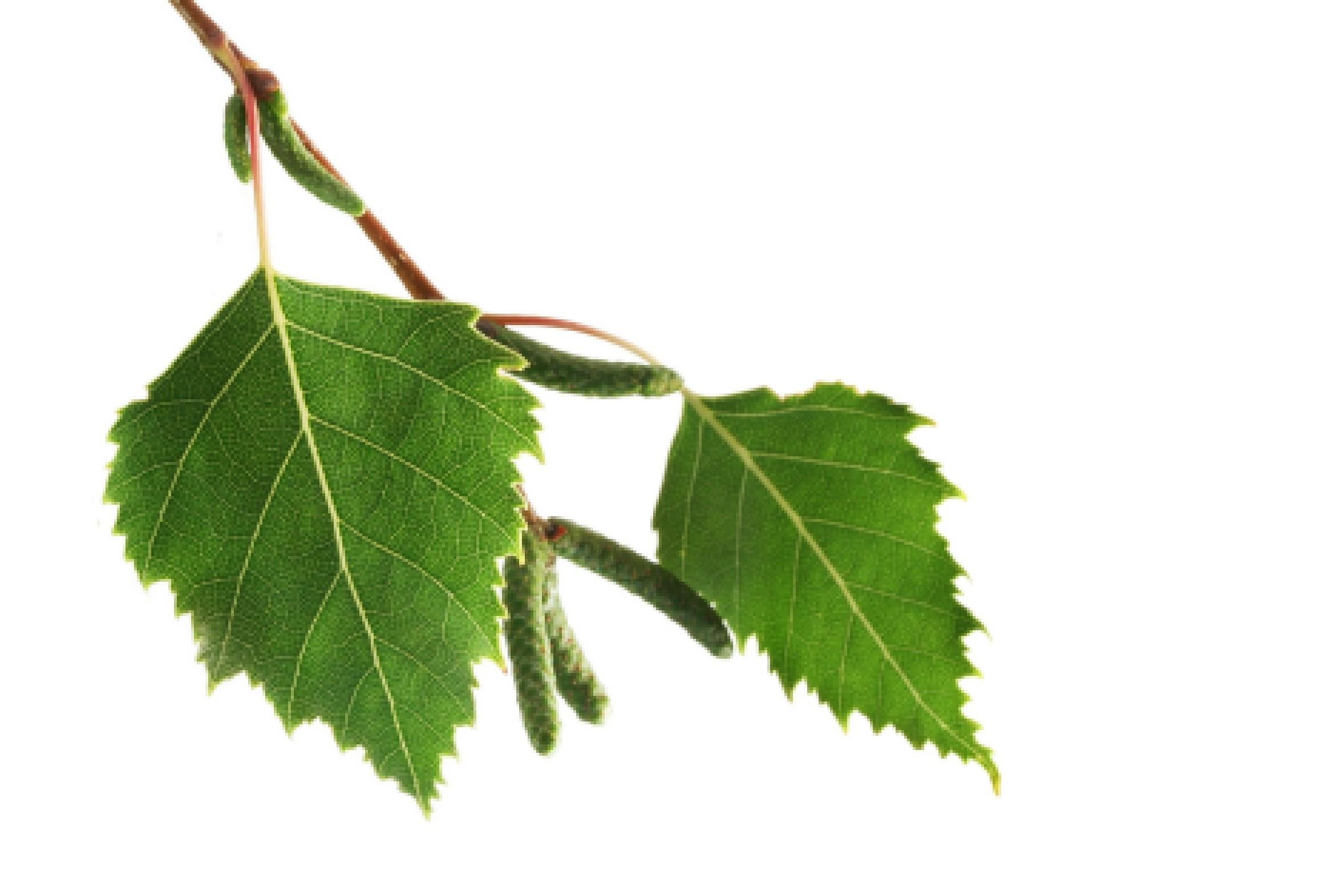 Целительные листья