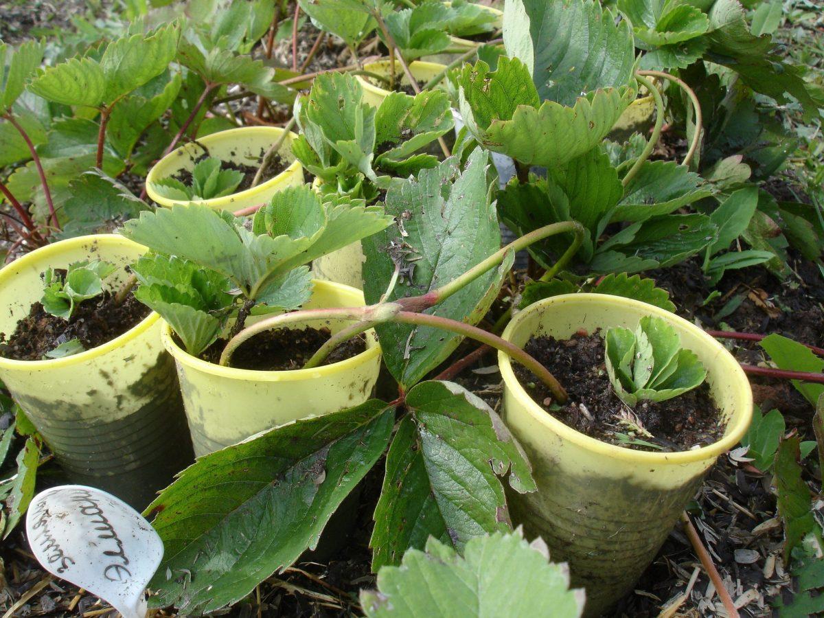 как размножить землянику садовую