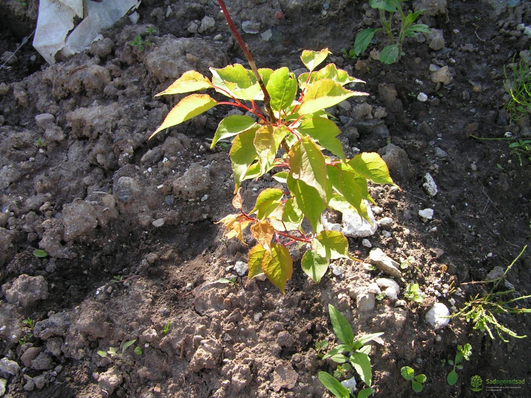 дерево особенность саженец весна осень растение подготовка
