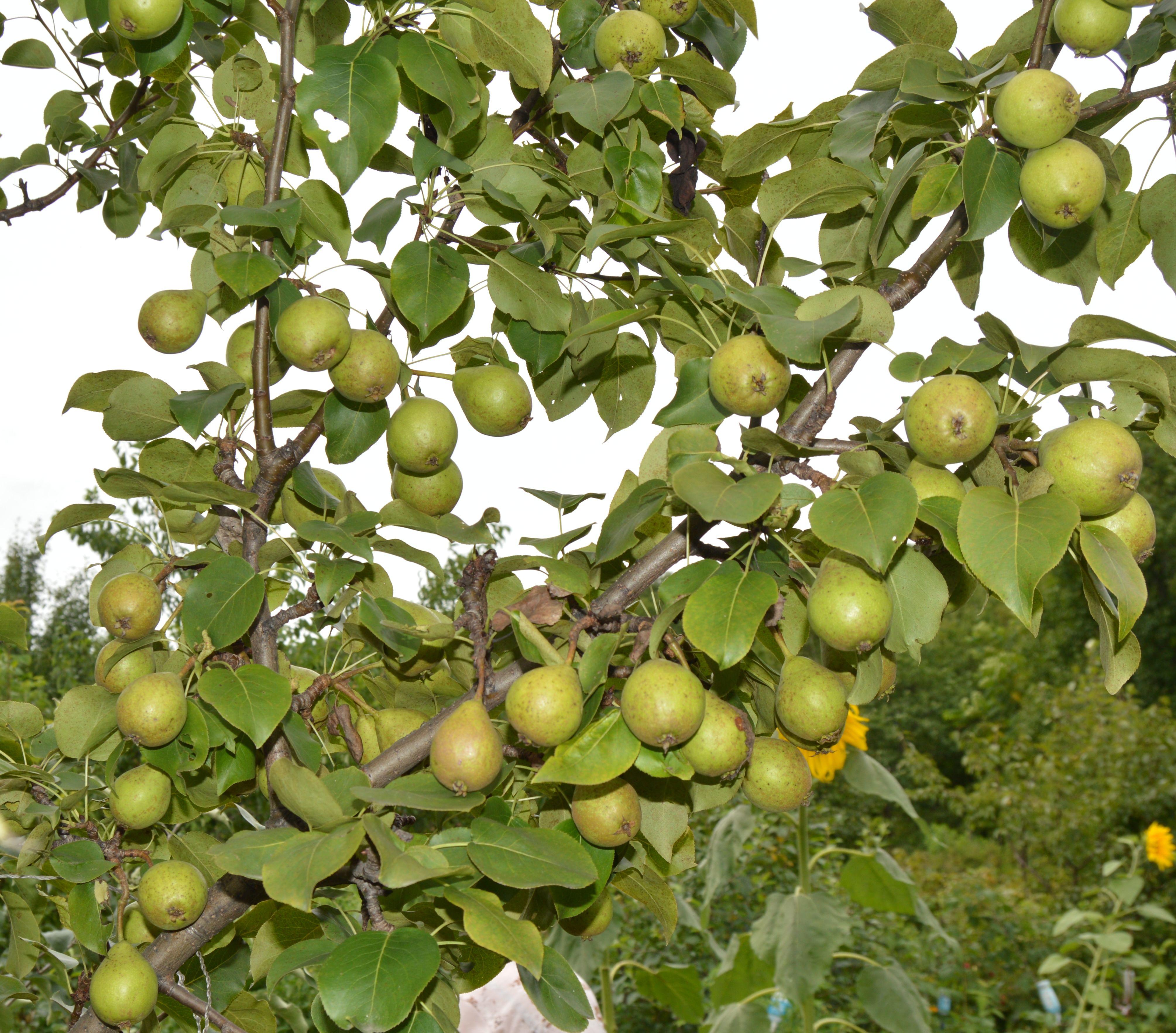яблоня дерево сад